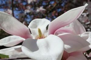 weiss-rosa magnolienblüte mit stempel